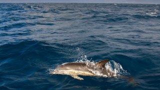 dauphins açores - voyage açores - terra lusitania